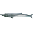 Baleine rorqual ##STADE## - couleur 1