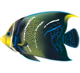 Poisson tropical pomacanthus semicirculatus ##STADE## - couleur 72
