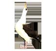 Albatros adulte - couleur 16019