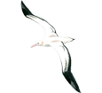 Albatros adulte - couleur 5