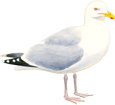 Goéland adulte - couleur 5