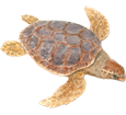 Tortue marine caouanne adulte - couleur 26