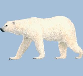 Recueillir un animal marin d'espèce ours blanc