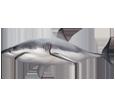 Requin blanc adulte - couleur 1