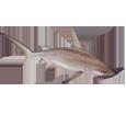 Requin-marteau adulte - couleur 1