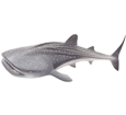 Requin-baleine adulte - couleur 71