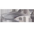 Requin-baleine bébé - couleur 71