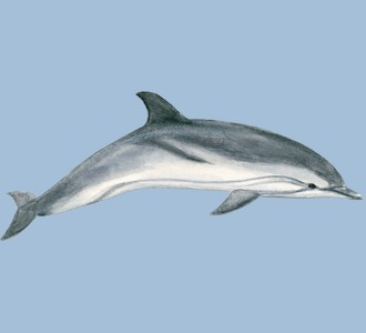 Recueillir un animal marin d'espèce dauphin commun