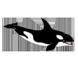 Orque adulte - couleur 185