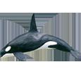Orque bébé - couleur 65