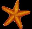 Etoile de mer adulte - couleur 17