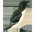 Pingouin torda adulte - couleur 65